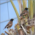 Common Indian Mynas.