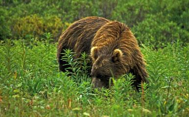 Побывать на Камчатке и не увидеть медведя практически невозможно.